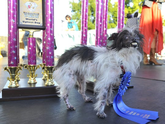 Peanut, a mutt who is suspected of being a Chihuahua-Shitzu mix, stands near a trophy after winning The World's Ugliest Dog Competition in Petaluma, California on June 20, 2014.