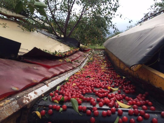 The Zettel Farms cherry harvester has two machines.