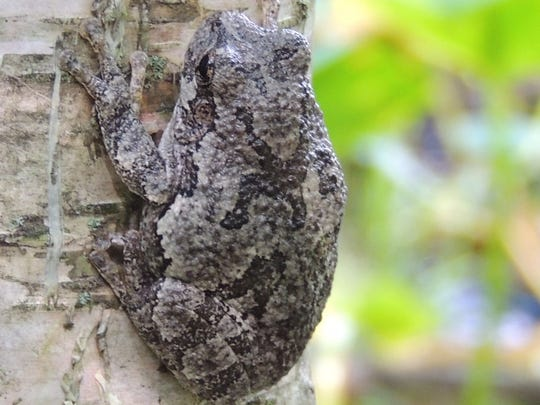 Often in September and October, gray treefrogs begin to fill the forest with their loud, chattering calls.
