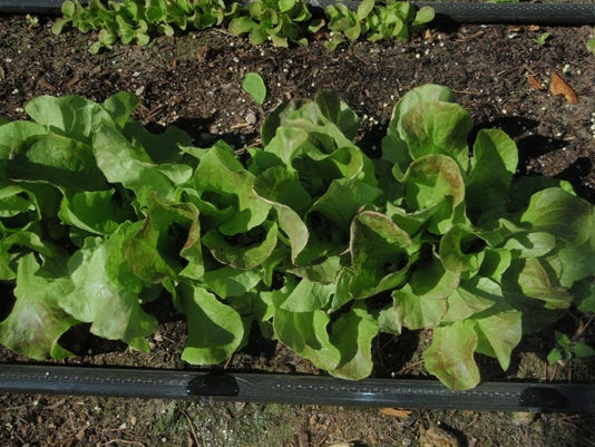 635833944969906260-Morris-leaf-lettuce-3-