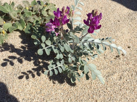 The endangered Coachella Valley Milk Vetch is seen at the Coachella Valley National Wildlife Refuge in Palm Desert on Tuesday, March 29, 2016.