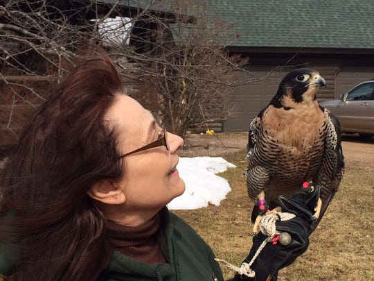 "S/46, known today as ""Stella,"" is comfortable enough with Marge Gibson and crowds that she is used as an education bird, teaching children about the plight of peregrines and their recovery."