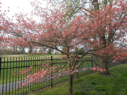 Visitors are invited to drive or walk through the city of Audubon Park April 15-17 during the annual dogwood festival to see hundreds of blooming trees and shrubs.