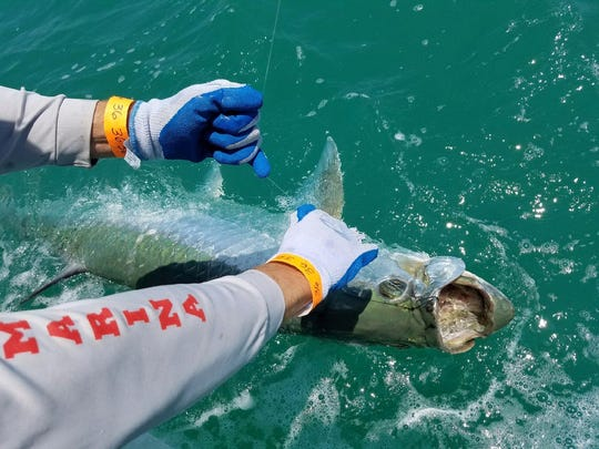 """Second-place Team Teaser in the """"Ding"""" Darling and Doc Ford's Tarpon Tournament""""  shows proof of its catch Saturday."""