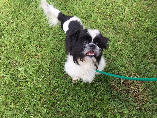 Petey, a shihtzu, is progressing well after being found