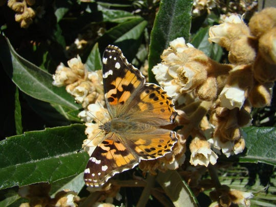 A Painted Lady butterfly lights on a loquat tree in