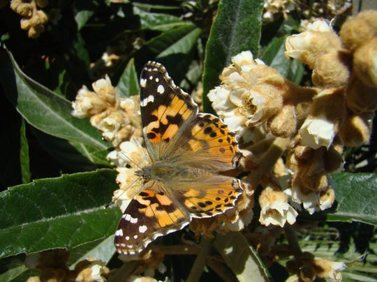 A Painted Lady butterfly lights on a loquat tree in the yard of Jeff Anderson, an agronomy and horticulture agent with Doña Ana Cooperative Extension Service.