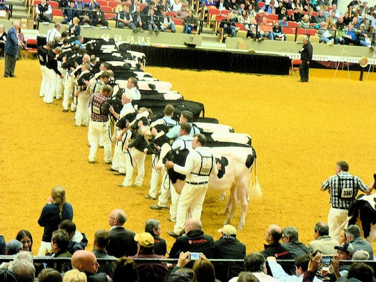 The Holstein show draws the biggest crowds.