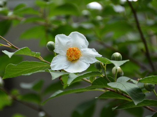 Before succumbing to drought in September, this Japanese stewartia bloomed with camellia-like flowers in early summer.