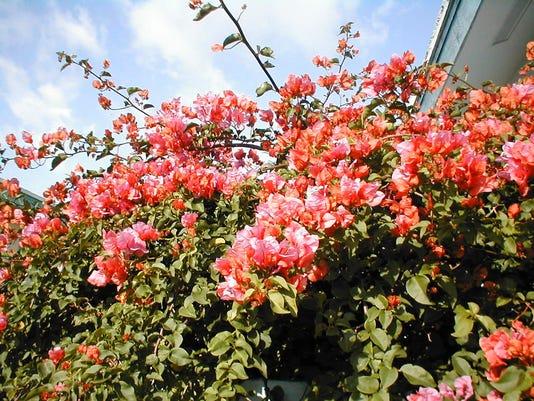 Gardening The Flowering Trees Of Southwest Florida