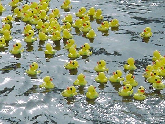 The fundraiser's major attraction is the adult rubber ducks, consisting of 3,000 numbered ducks.