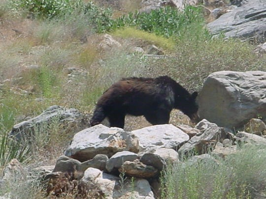 In this file photos, a black bear forages in Palm Springs circa 2005. On Monday, a black bear died after being struck by a Honda Ridgeline on Interstate 10, near Morongo Trail, on Sunday night, November 3, 2019, the California Highway Patrol reported.