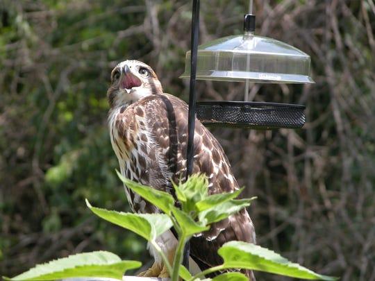 A hawk stands near a bird feeder on the deck of a home