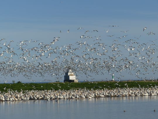 Hundreds of pelicans soar above Manitowoc near Lake