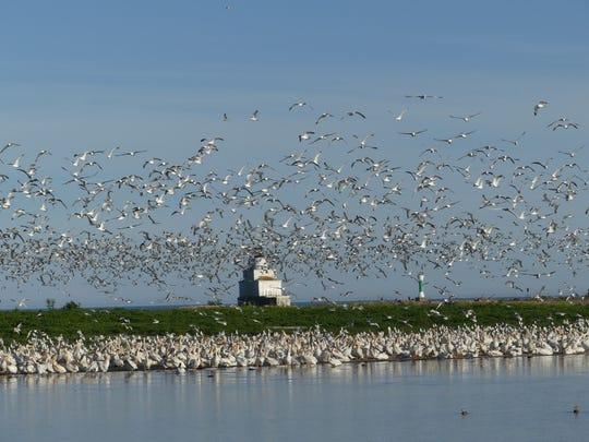 Hundreds of pelicans soar above Manitowoc near Lake Michigan.