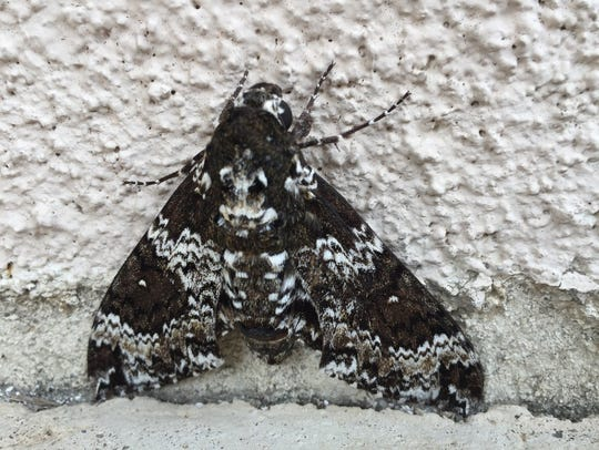 A reader spotted this moth recently and asked what