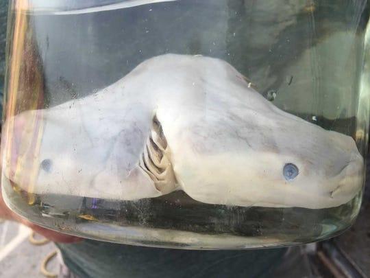 It's a two-headed shark.