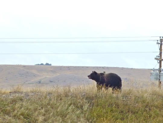 In this 2013 file photo, this grizzly bear was spotted near Fort Shaw.