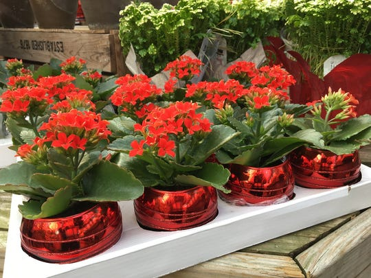 The succulent kalanchoe is practically a no-care plant, perfect for a busy household.
