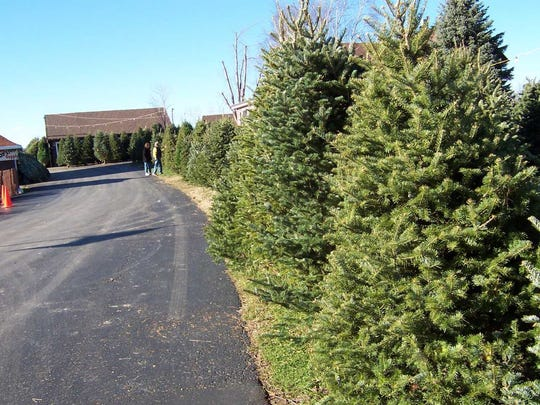 Christmas trees line the property of Noffke Tree Farms