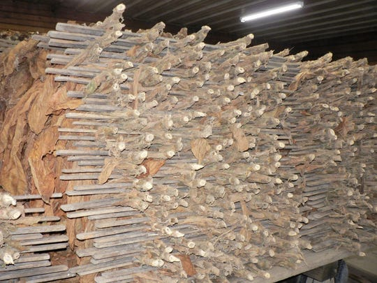 A pile of cured tobacco waiting to be stripped.