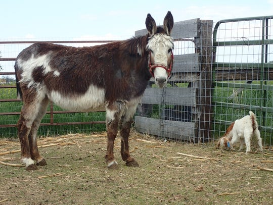 Donkeys can be effective in guarding goats against