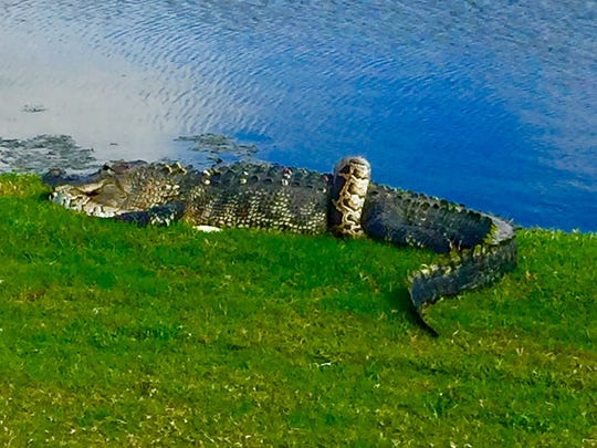 A Burmese python and a Florida alligator were seen wrestling on the ground at Fiddler's Creek Golf Club in East Naples on Friday, Jan. 12, 2018.