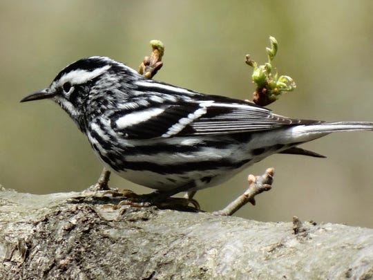This black-and-white made a pit stop at Garret Mountain in Woodland Park last spring.