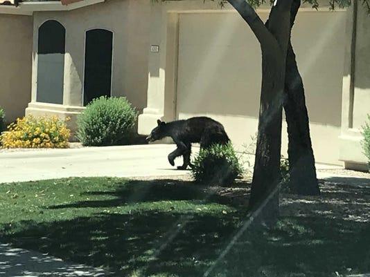 Mesa black bear