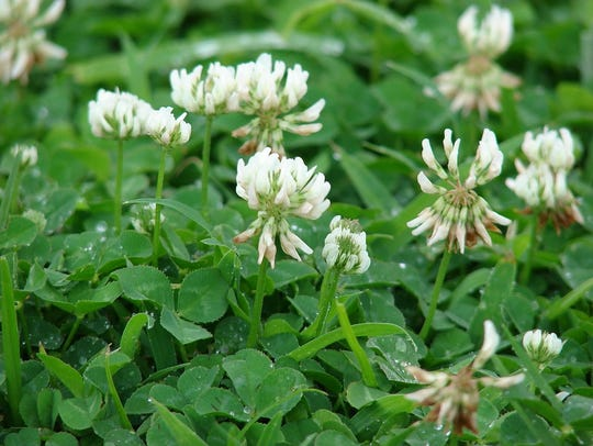 Clover is not a flower at all but a cluster of 40 or