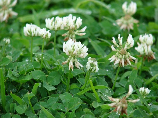 Clover is not a flower at all but a cluster of 40or
