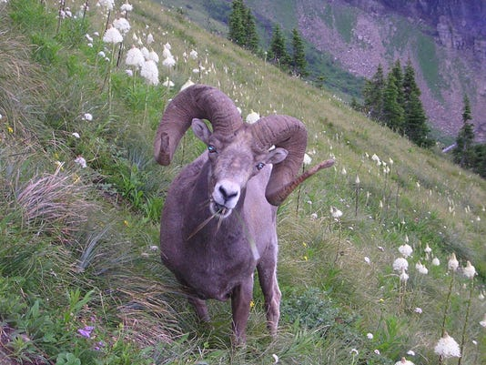 Glacier National Park wildlife