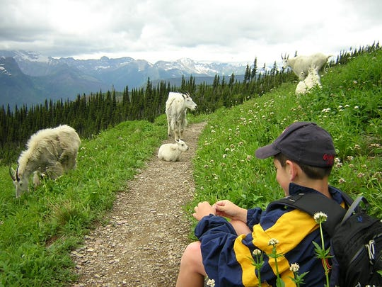 Mountain goats along the Highline Trail in Glacier National Park.