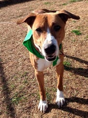 Cinco is a 15-month-old, 55-pound, neutered, male hound