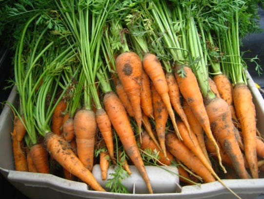 Carrot harvest from the School For the Deaf - Fanwood garden.JPG