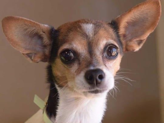 Mavis - Female Chihuahua mix, adult. Intake date:7/10/2017