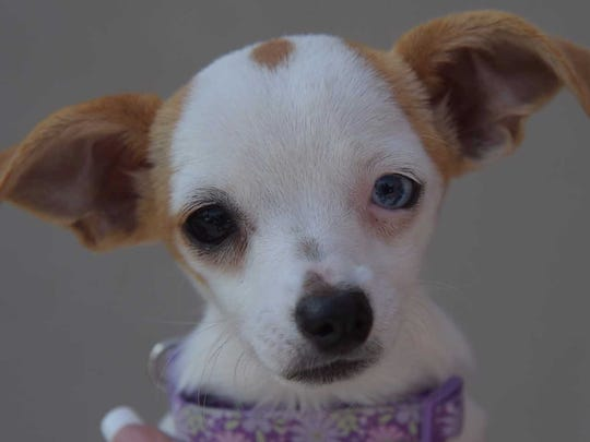 Faline - Female (spayed) Chihuahua, about 5 months. Intake date: 6/5/2017