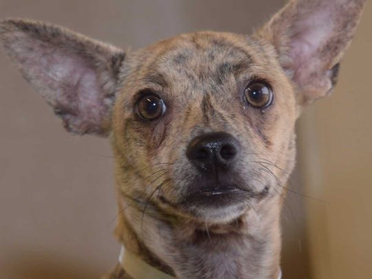 Archer - Male Chihuahua mix, adult. Intake date: 7/12/2017