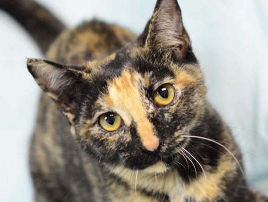 Autumn - Female domestic short hair, adult. Intake