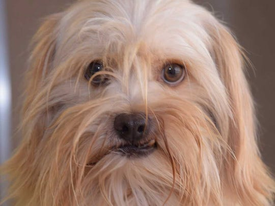 Flakes - Male Lhasa Apso mix, adult. Intake date: 10/3/2017