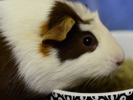 Nibbler - Male guinea pig, about 1.5 years old. Intake date: 8/27/2017