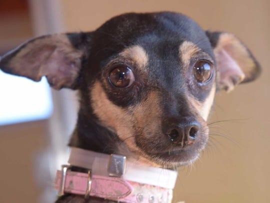 Tammy - Female Chihuahua mix, adult.Intake date: 11/10/2017