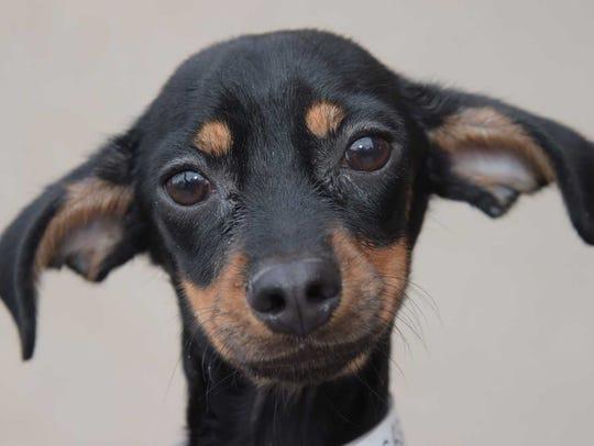 Taco - Male Chihuahua mix, juvenile. Intake date: 1/21/2018