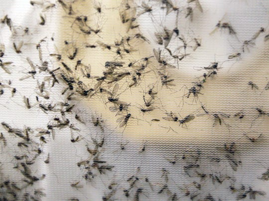 A trap holds mosquitoes at the Dallas County Mosquito Lab in Hutchins, Texas, on Feb. 11.