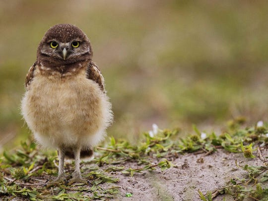 Cape Coral has a Burrowing Owl Festival.