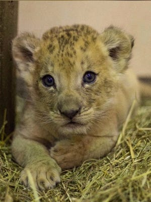 This lion cub was born at the Buffalo Zoo in March to Tiberius and Lelie.