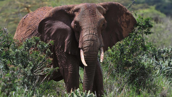 An African elephant is pictured at the Mpala Research Center and Wildlife Foundation, near Rumuruti, Laikipia District, Kenya, on Jan. 31, 2016.