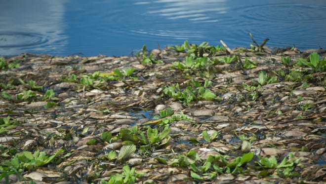 """Hundreds of dead fish are seen Monday, Sept. 18, 2017, in the C-24 Canal in Port St. Lucie. """"The vultures were here. They don't even want that,"""" said nearby resident Miguel Gonzalez, Sr. The Florida Fish and Wildlife Conservation Commission said Hurricane Irma triggered a fish kill across the state."""