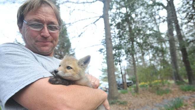 Wildlife Rehabilitator Bob Hughes holds Woody, an orphaned fox, as the two go for a walk outside.