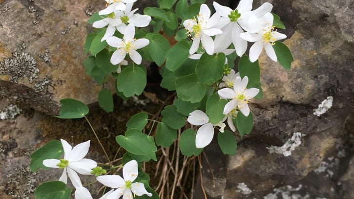 Rue anemone is a native perennial, in the buttercup family.
